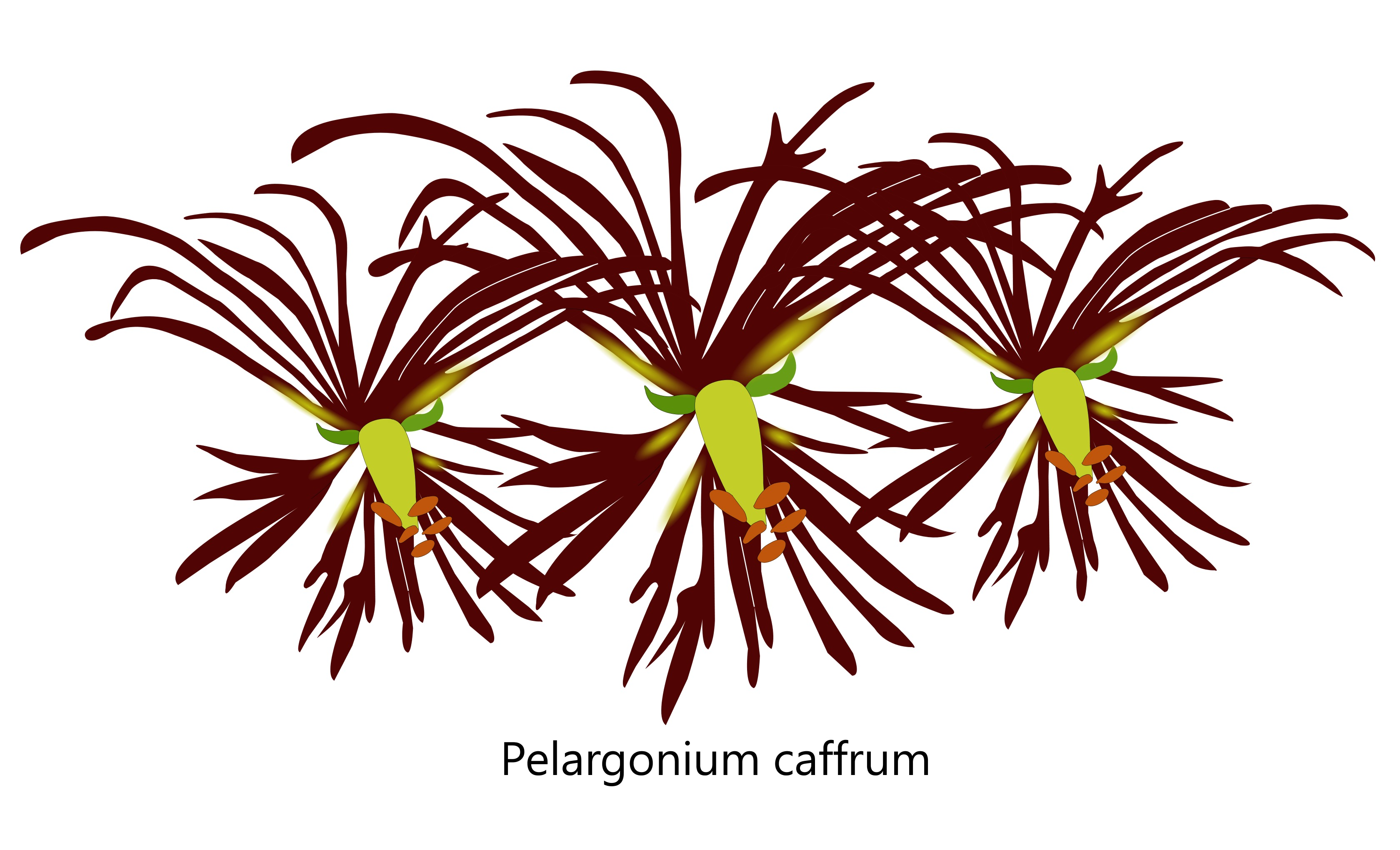 pelargonium caffrum illustration