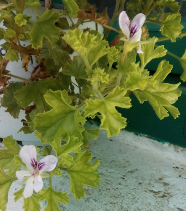 pelargonium crispum